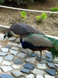 jorge-peacocks