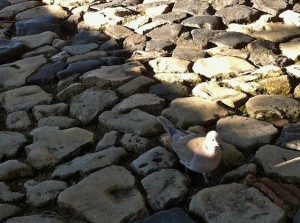 sao-pigeon