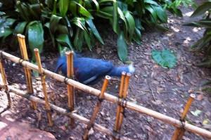 asia-blackbird