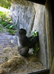 panganiforest-gorilla