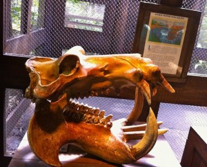 researchstation-hippopotamuskull