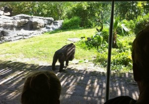 gorilla-observation