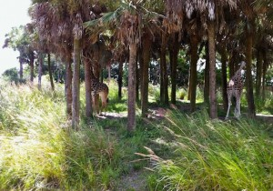 kilimanjaro-giraffes