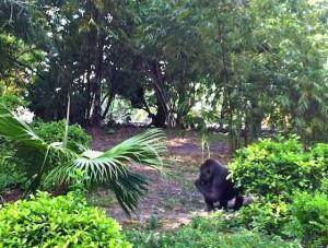 pangani-gorillahabitat