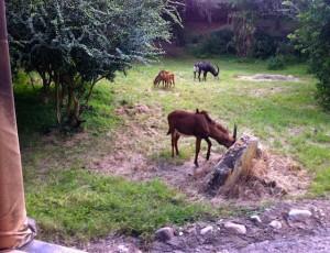 kilimanjaro-antelopes