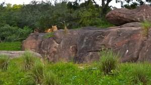 lion-closeup